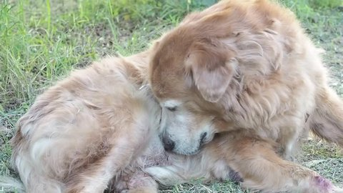 Golden retriever dog is cleaning sexual organ and hair.