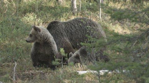 wild european brown bears in finland