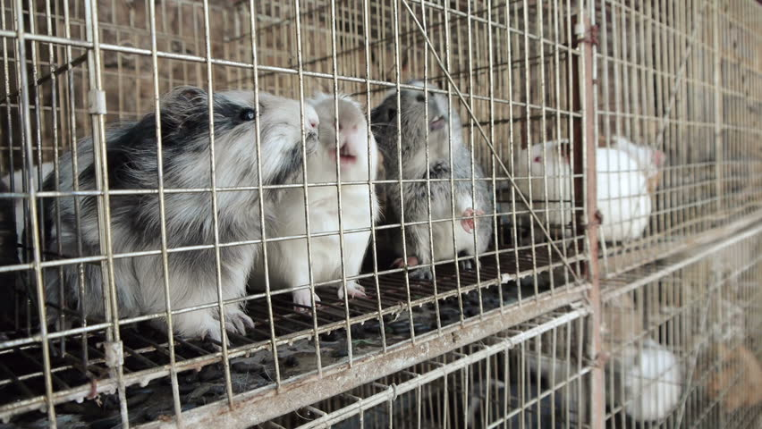Guinea Pigs Caged Waiting for Feed.