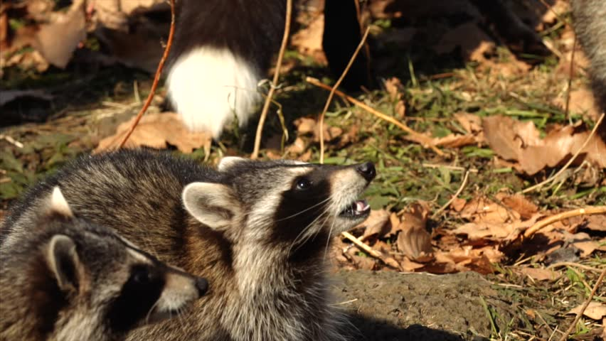 Slow motion: cute North American racoons take nuts from zookeeper