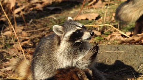 Cute North American racoons take nuts from zookeeper