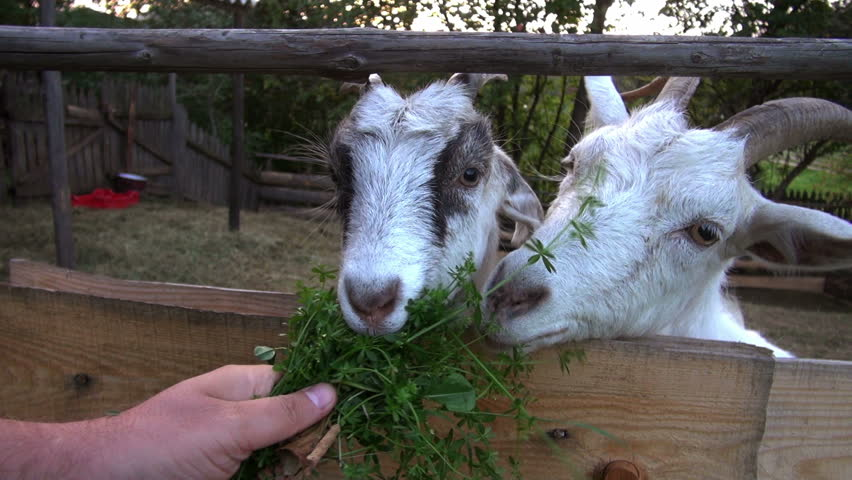 goat farming. feeding goats greens.