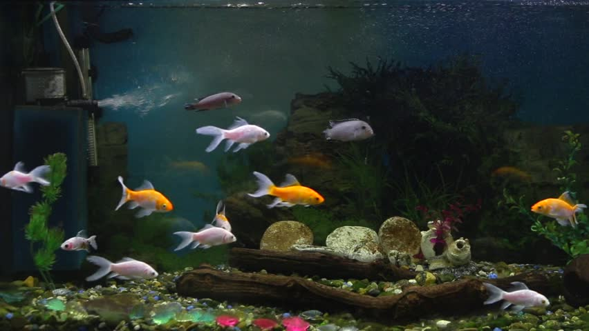 Beautiful fishes of different sizes swim in transparent aquarium water. Colorful aquarium tank filled with stones, wooden branches, seaweed and air pump that provides oxygen bubbles for fishes.