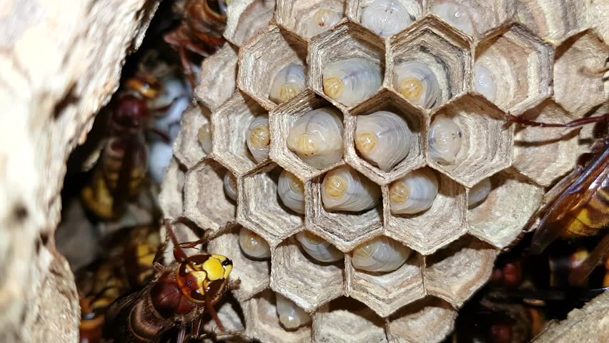 European hornets (Vespa crabro) feeding larvae in nest. Largest European wasps tending young inside nest, in Wiltshire, UK