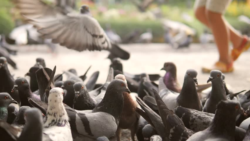 Running Boy Frighten Pigeons and they Fly Away in City Park. Closeup HD Slowmotion 180p. | Shutterstock HD Video #32375668