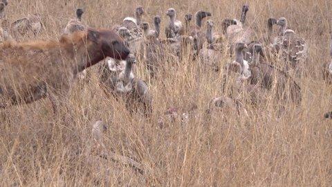 Hyena, Hyenas, vulture and marabou fighting after hunting a zebra, Serengeti, Tanzania