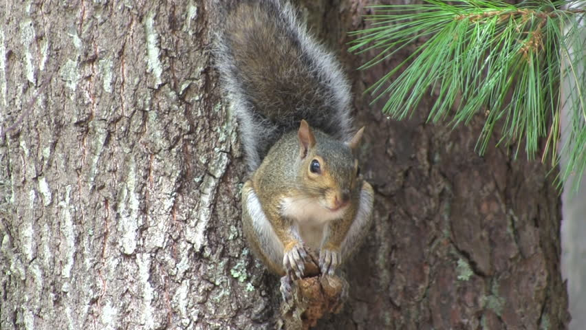 Tame cute adorable grey squirrel waits for nuts while sitting on tree branch during summertime