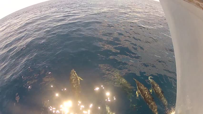 Dolphins swimming in front of the bow of a ship at slow speed