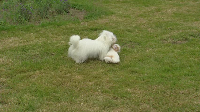 Coton de Tulear, playful pup & adult. The Coton is developed on the island of Madagascar and is still the island's national dog.