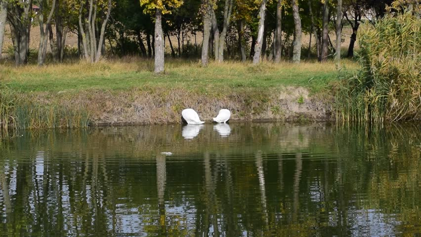 nice white swans on the small river
