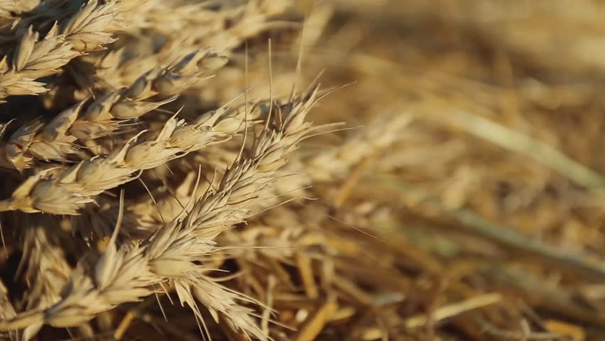 Gold ears of wheat under sunlight close-up | Shutterstock HD Video #32445088