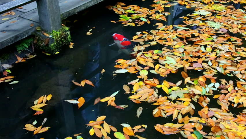 Leaf fish footage page 3 stock clips for Nishinomiya tsutakawa japanese garden koi