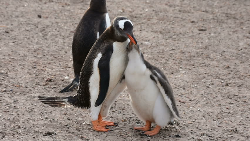 A Gentoo penguin feed a hungry chick