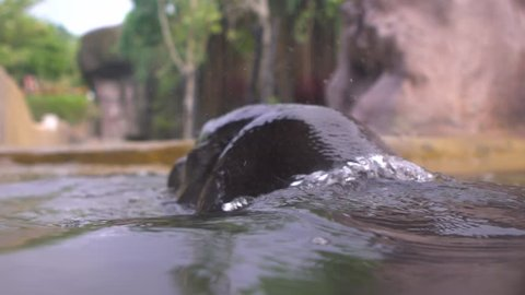 Slow motion of Pygmy Hippo take a bath in the lake water at a day hot summer in zoo. Pygmy Hippopotamus is semi-aquatic mammal native to West Africa, Liberia. Family Hippopotamidae-Dan