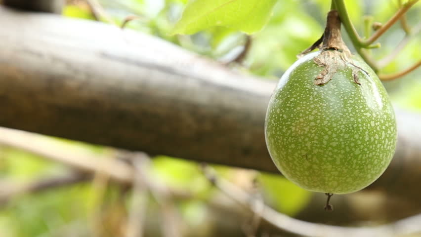 The green passion fruit on the farm close up footage