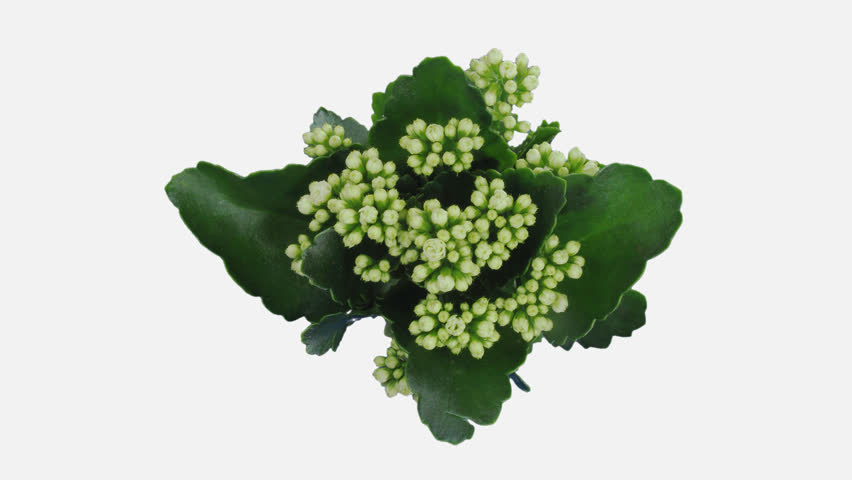Time-lapse of opening white kalanchoe flower 1x5w in 4K PNG+ format with ALPHA transparency channel isolated on white background, top view