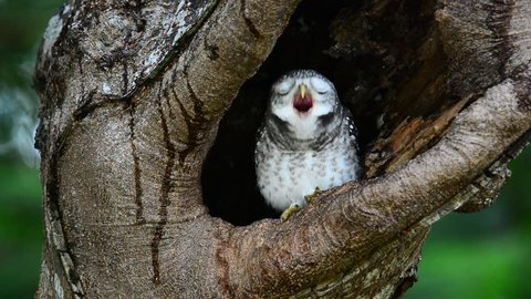 Cute sleepy owlet coming out from hole nest tree and yawning . Owlet nest.