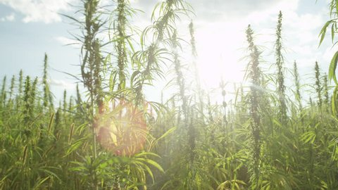 SLOW MOTION Sun shining trough narcotic marijuana plants in agricultural field outdoors. Medicinal cannabis field cultivation. Illegal narco weed plantation growing outdoors under the sun. Pot farming