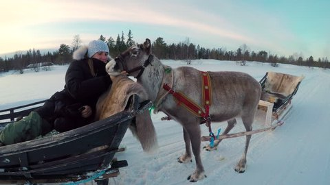Female tourist on reindeer sledging attraction in Lapland petting young female deer while sitting in sleigh. Woman traveler enjoying winter vacation in snowy Finland, caressing sledge pulling deer