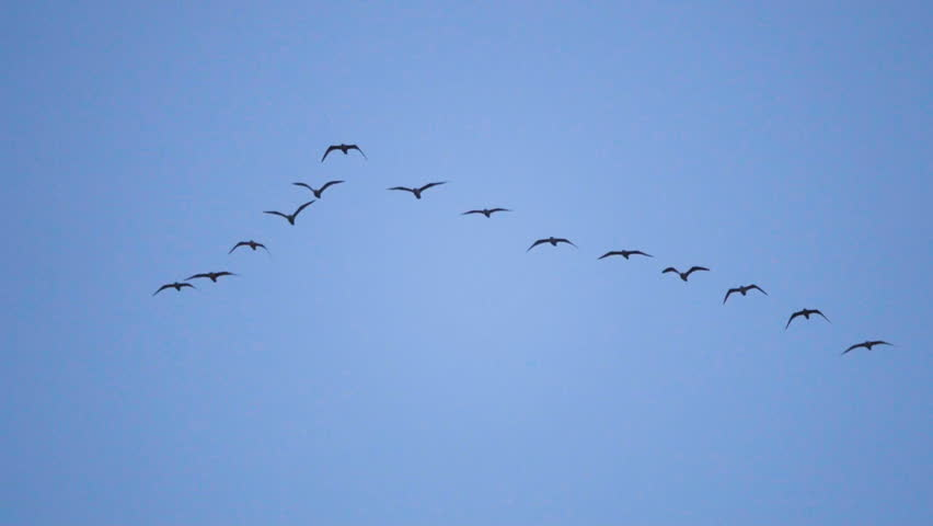 Follow leaders: Flock of  seagull flying in an imperfect V formation. Slow motion.  Birds gull flying in formation, Blue sky background. Migrating Greater birds flying in Formation | Shutterstock HD Video #32609908