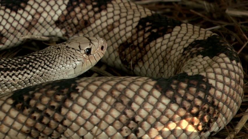Northern Pine Snake (wide shot and close up)