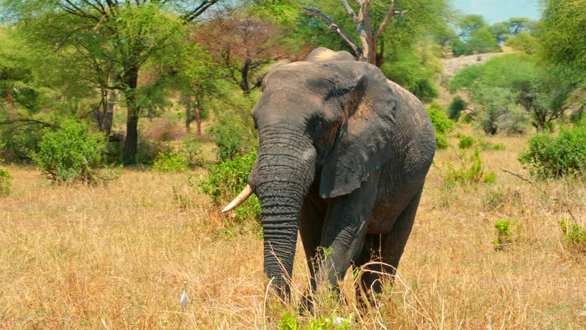 Cinematic camera shot of adult elephant feeding in picturesque, colorful, dry and dusty fields of African savanna of Tarangire national park in Tanzania, Africa on a bright, hot, sunny day.