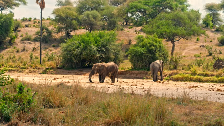 Cinematic camera shot of elephants drinking from water hole of almost dry river bed in colorful, dry savanna fields of Tarangire national park in Tanzania, Africa on a bright, hot, sunny day.