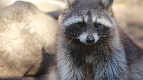 Beautiful Raccoon Looking At The Camera