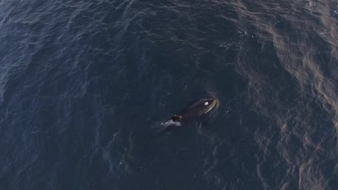 Aerial view of a single Orca swimming in northern Norway waters