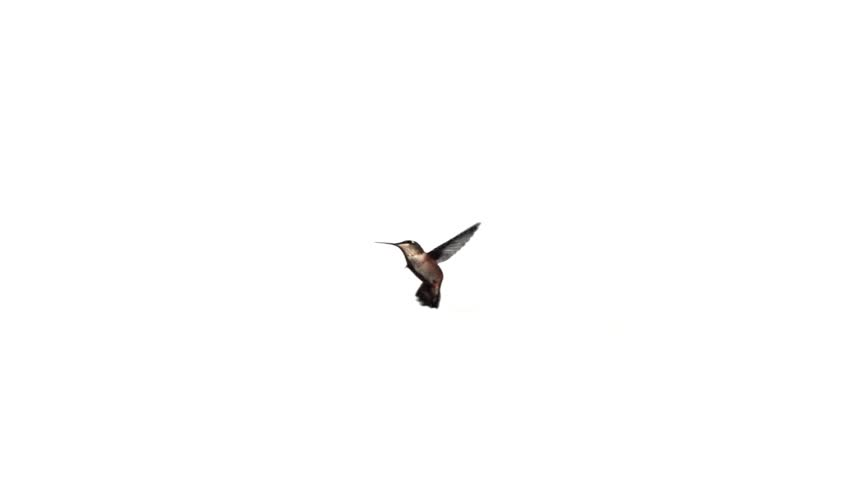 Hummingbird fly in slow motion on white  screen