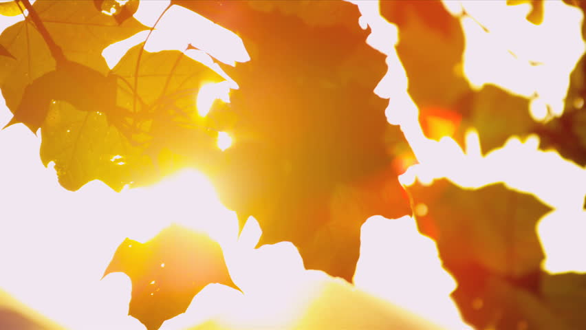 Sun shining through fall leaves blowing in breeze | Shutterstock Video #3276260