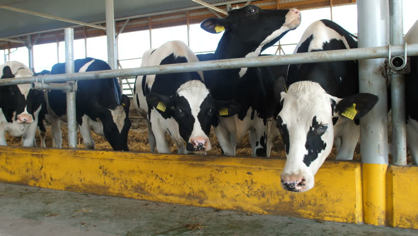 Cows Feeding Process On Modern Stock Footage Video (100% Royalty-free)  32771338 | Shutterstock