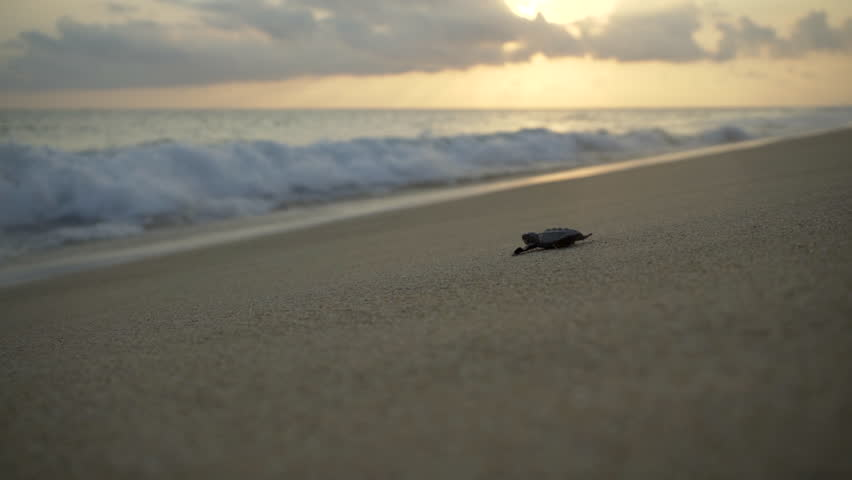 newborn turtles run to the sea wave , close-up turtle, turtle  sanctuary hatchery located on the beach