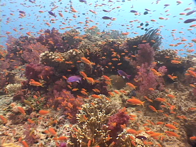 Panoramic view of coral and tropical fish of Fiji, South Pacific.