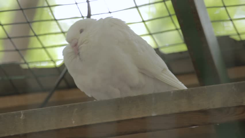 Doves Usually White In Color Are Used In Variety Of Settings As