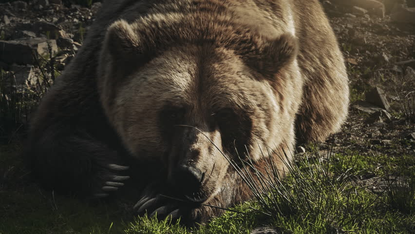 Huge brown bear (Ursus arctos) lying on the grass in the forest. Close up portrait of wild big brown bear sleeping and relaxing. Wildlife nature conservation. Dark vintage retro toning filter. Full HD