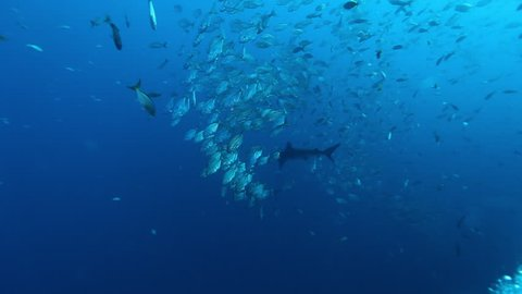 Shark on background of school fish underwater in Pacific ocean. Unique amazing video footage. Abyssal relax diving. Natural aquarium of sea. Beautiful animals.
