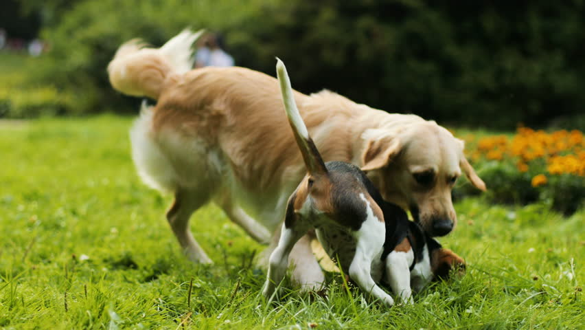 Portrait of a beagle puppy dog playing and jumping with a labrador dog on the green grass in the park. Blurred background.