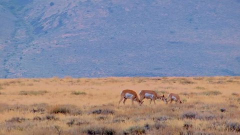 Pronghorn family baby fawn and mother eating Hart Mountain National Antelope Refuge Oregon