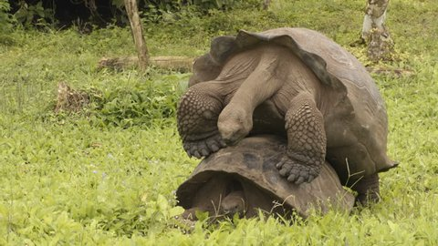 Galapagos Giant Tortoises mating having sex on Santa Cruz Island in Galapagos Islands. Giant Tortoise, Animals, nature and wildlife video close up of tortoise in the highlands of Galapagos, Ecuador.