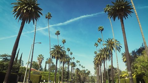 Palm trees passing by a blue sky. Driving through the sunny Beverly Hills. Los Angeles, California. Green.