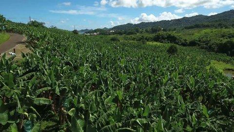 Aerial view of banana plantation - Martinique, Le Robert, France