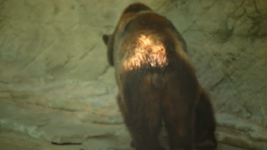 Kodiak grizzly bears walks around in his cage at the zoo