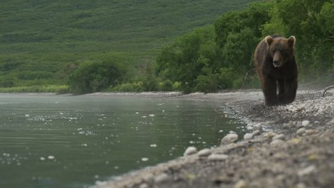 Wild bear of Kurile Lake, Kamchatka Peninsula