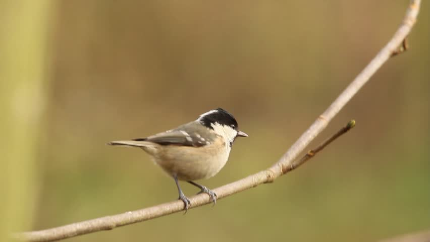 Coal Tit sitting on a branch and flying away