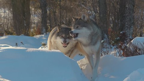 growling snarling angry wolves standing in winter scenery