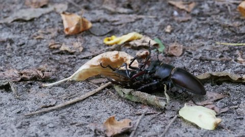 Stag Beetle Deer Pushes a Crushed Dead Beetle along the Ground. Close Up. Macro Shot of Stag Beetle (Lucanus cervus) in wild nature.