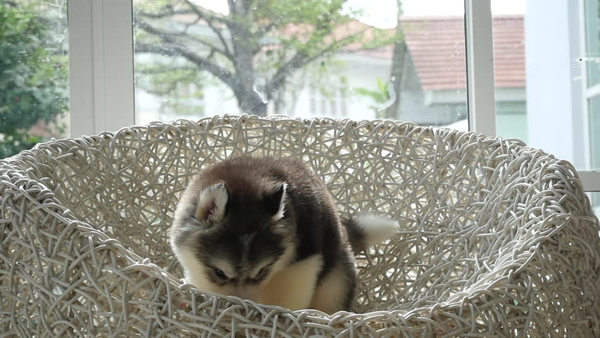 cute siberian husky puppy playing on white wicker chair slow motion - HD stock footage clip