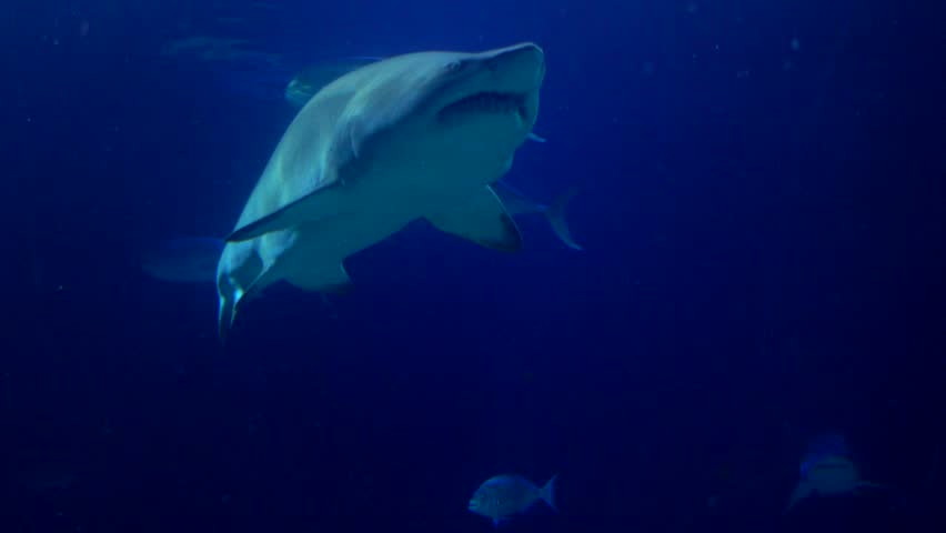Stingrays , Sand Tiger Sharks and School of Fish swimming underwater along the ocean surface . Cinematic 4k