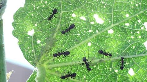 Black ants on green backlit leaf